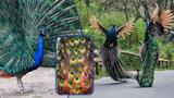 Pávi a jejich chvíle slávy: V pražské zoo se bojuje o načepýřenou lásku