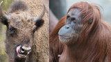 Víkend v Zoo Praha: Třicetiny orangutaní dámy Mawar a loučení s Prťkou