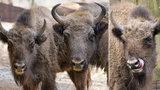 Adieu, Prťko! Zubří slečna z pražské zoo poletí na Kavkaz, s dalšími zubry tam má založit novou populaci