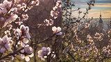 Dechberoucí podívaná na Petříně: Mandloně jsou v plném květu, letos si pospíšily