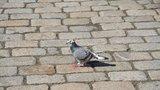 Překročil rychlost, platit ale nebude: Řidiče před pokutou ochránil holub
