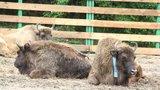 """Pražská zubří slečna """"Prťka"""" dorazila na Kavkaz. Ze zoo se dostane do volné přírody"""