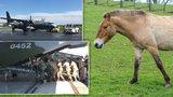 Napínavý odlet koní Převalského do Mongolska: Jeden uklouzl v letadle, museli ho vysadit