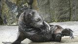 Tříměsíční lachtánek z pražské zoo nemá jméno: Vyberou ho čtenáři Blesku!