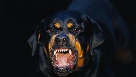 Vichřice shodila muže ze žebříku přímo mezi smečku rotvajlerů: Zuřiví psi mu rozsápali obličej