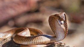 Na pokraji smrti! Českého chovatele (45) uštkla kobra, pro protilátku museli do Německa