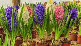 Odkvetlé cibuloviny v květináči nevyhazujte. Na zahradě pokvetou i příští rok