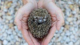 Nezachraňujte ježky! Zdraví ježečci patří do přírody