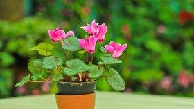 Jak se postarat o brambořík, aby dlouho kvetl a vydržel