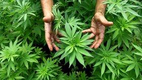 Originální »schovka« pašeráků: 700 kilo marihuany ukryli do kokosů