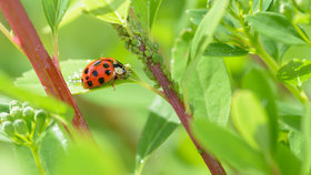 Nežádoucí hmyz na zahradě: Jak se zbavit mšic a svilušek bez chemie