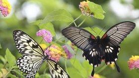 Exotičtí krasavci v Praze: Motýli se v botanické zahradě líhnou přímo před zraky lidí
