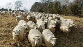 Bééé! Namol opilá řidička přejela 50 ovcí, 38 z nich zemřelo