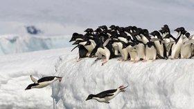 Zapomeňte na Antarktidu. Tučňáci pocházejí z Austrálie a Nového Zélandu, zjistili vědci