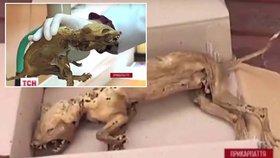 Našla se bájná čupakabra? Karpaty odhalily tělo záhadného tvora