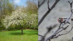 Mrazy útočí na ovocné stromy. Příroda má trik, úroda nemusí být ztracena