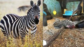 Brutální výjev v norské zoo: Zebře uřízli hlavu a předhodili ji tygrům