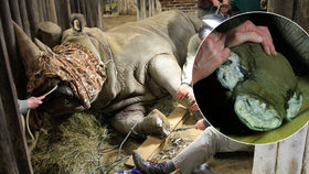 Nosorožcí samička Jessika na pedikúře: Kopýtka jí brousili v narkóze!