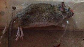 Jedna hladová krysa vyhnala 2000 lidí z divadla: Diváci dostanou peníze zpět