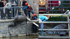 Cirkusu Berousek se utopila zebra: Můžou za to ochránci zvířat, tvrdí principál