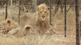 Hladovějící lvi čekali na smrt: Lovecká společnost je chovala pro bohaté zájemce