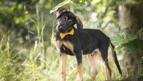 Pozor na psy se žlutou stužkou. Značka upozorní, že můžou reagovat podrážděně