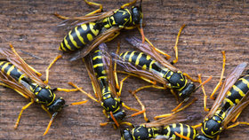 Agresivní a opilé vosy pobodaly malého Lea (2). Nálety hmyzu ohrožují celou zemi