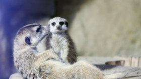 Jste rychlejší než surikata? V trojské zoo poměříte síly se zvířaty