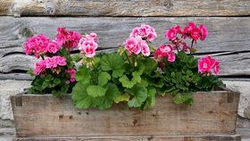 Jak pěstovat muškáty od A do Z: Kam patří a jak je zalévat, aby bohatě kvetly