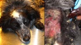 Zanedbaného psa žrali červi zaživa, veterináři mu už nedokázali pomoci