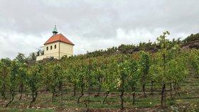 Vinice svaté Kláry oslaví o víkendu svátek. Piknik s vínem bude předzvěstí vinobraní