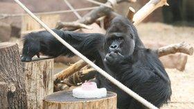 Gorilí samec Richard slaví 25. narozeniny! Co dostane?
