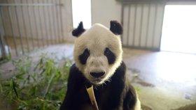 Nejstarší panďák světa zemřel: Pan Pan (†31) zplodil čtvrtinu pandí populace