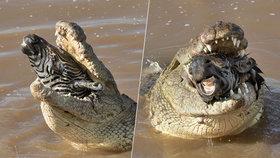 Krokodýl spolkl celou zebru, z tlamy mu vykukovala jenom její hlava