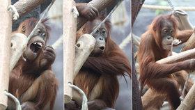 Narozeniny orangtutaní samičky Diri (4). »Ksichtila« se na gratulanty