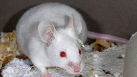 Nevěřme testům na myších? Vědci: Hlodavec z laborky přežije i smrtelnou infekci