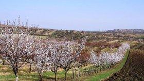 Mrazy zničily ovoce za desítky milionů, bědují ovocnáři. A jablka ztratila chuť