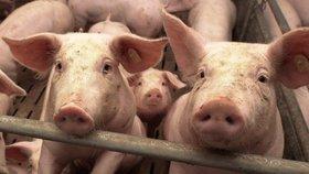 Milion za svezení v přívěsu pro prasata: Farmář zavřel veterinářku v dobytčáku, půjde před komisi