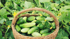 Pěstujete nakládačky? Víme, jak ještě letos získat mimořádnou úrodu!