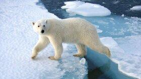Lední medvěd napadl muže z výletní lodi. Šelmu zastřelila medvědí hlídka