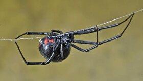 Desítky smrtelně jedovatých pavouků v Česku: Černé vdovy přicestovaly v bedně s laserem