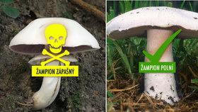 Mykologové varují před zrádným žampionem! Zápašný je jedovatý a plete se s jedlým  žampionem polním