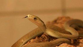 Smrtelně jedovatý had Afriky útočil v Dolních Břežanech. Mamba černá pokousala chovatele