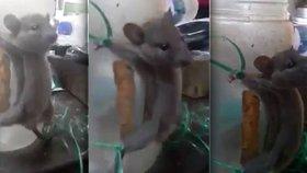 Brutální mučení myši rozhořčilo svět. Po krádeži jídla zažila středověk