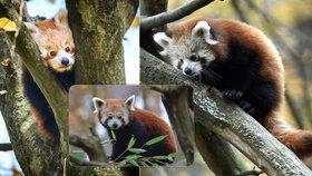 Chovatelský úspěch v Zoo Zlín: Kuk, já jsem pandí kluk...