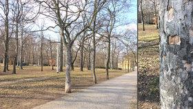 Strom, na který močí »celá Letná«: Psi ve Stromovce dávají zeleni zabrat
