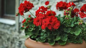Jak pěstovat pelargonie ze semínek, aby se v létě obsypaly květy