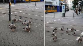 Spořádané kachničky pobavily Němce. Čekají, aby přešly na zelenou