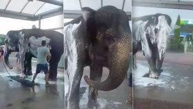Cirkusáci se zbláznili? V Kutné Hoře vzali slona do myčky