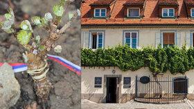 V Kyjově vysadili nejstarší révu na světě: Pochází z keře starého přes 450 let